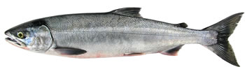 Alaska Chum (Dog) Salmon Fishing Guide
