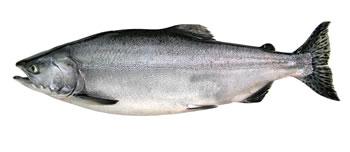 Alaska Pink (Humpback) Salmon Fishing Guide