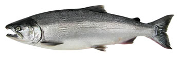 Alaska Coho (Silver) Salmon Fishing Guide