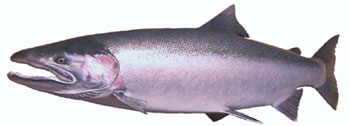 Alaska Steelhead Fishing Guide