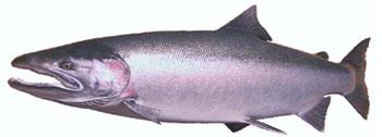 Alaska Steelhead Fishing Guide
